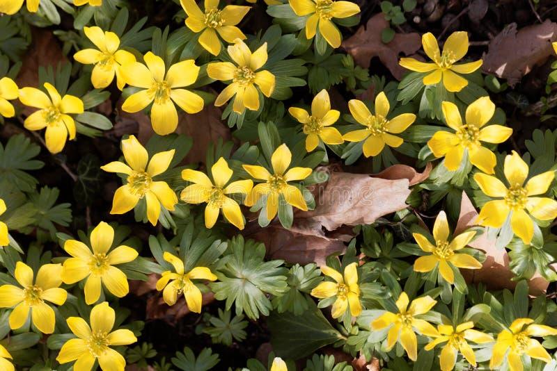 Hyemalis del Eranthis dell'aconito di inverno fotografie stock libere da diritti