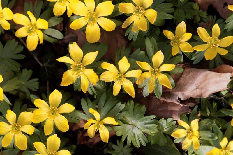Hyemalis del Eranthis dell'aconito di inverno fotografia stock