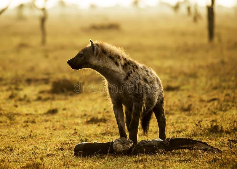 Hyena με το κρέας στοκ φωτογραφία