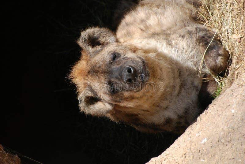 hyena νυσταλέο στοκ φωτογραφίες με δικαίωμα ελεύθερης χρήσης