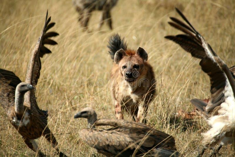 hyena που επισημαίνεται στοκ εικόνες με δικαίωμα ελεύθερης χρήσης