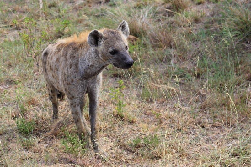 Hyena στο εθνικό πάρκο Kruger στοκ φωτογραφία με δικαίωμα ελεύθερης χρήσης