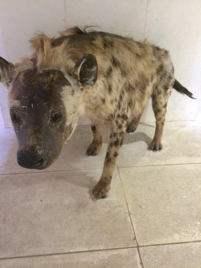 hyena arkivfoton