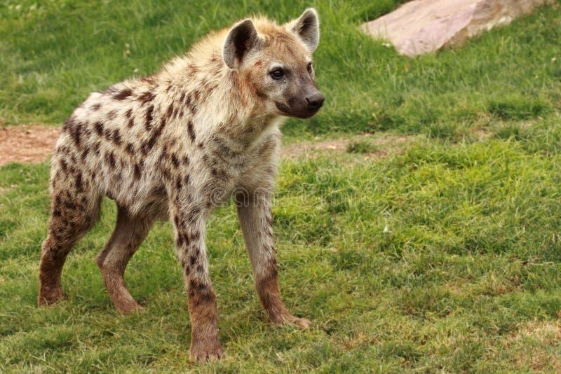 Download Hyena stock image. Image of natural, nature, ferocious - 15030703