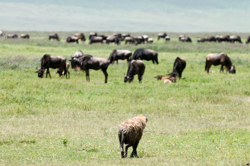 Download Hyena stock image. Image of savannah, east, safari, hunting - 15678473