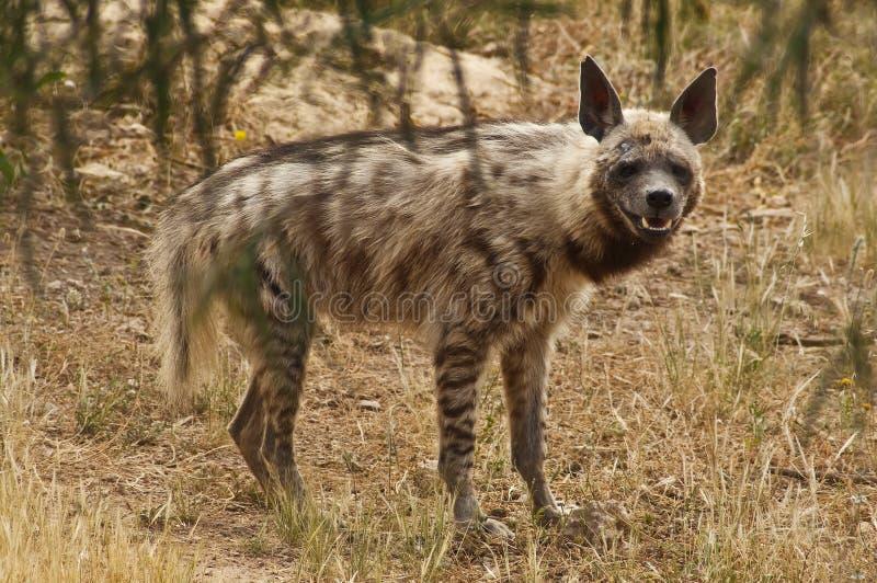 Download Hyena stock photo. Image of african, closeup, nature - 17587422
