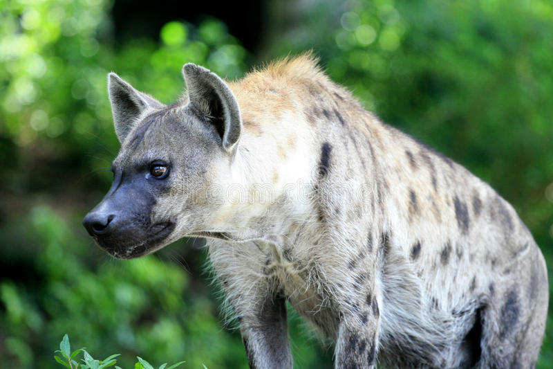 Download Hyena Stock Photos - Image: 20985453