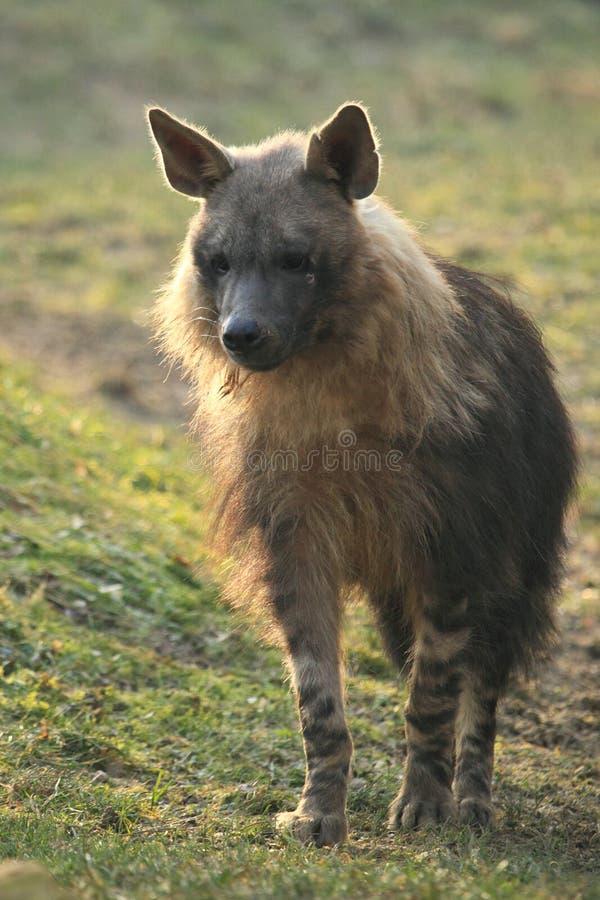 Download Hyena stock photo. Image of approaching, hyaena, nature - 23076998