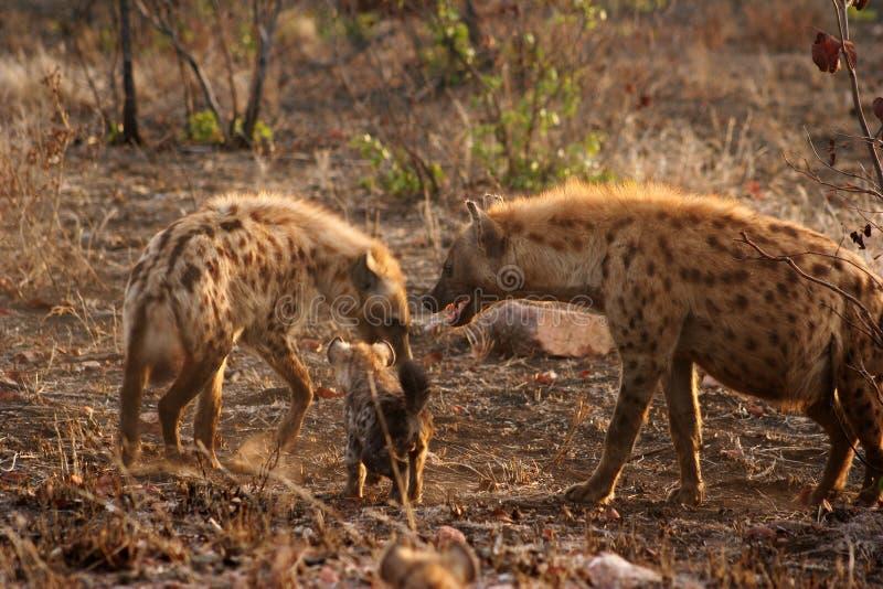 hyena royaltyfria bilder