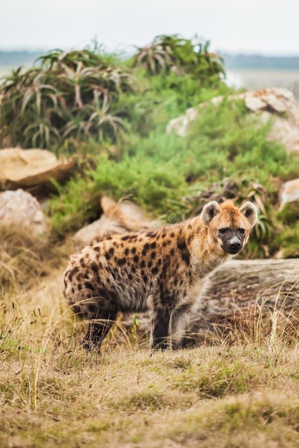 Free Hyena Stock Photos - 27807803