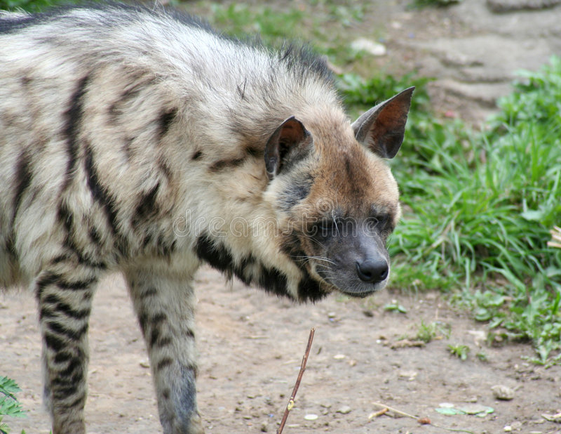 hyena стоковая фотография rf