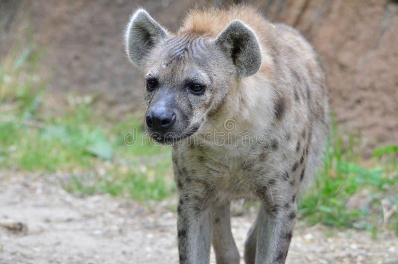 Hyena 20131 fotografering för bildbyråer