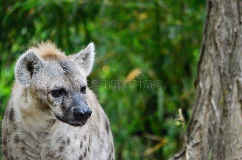 Hyena 201312 στοκ φωτογραφίες