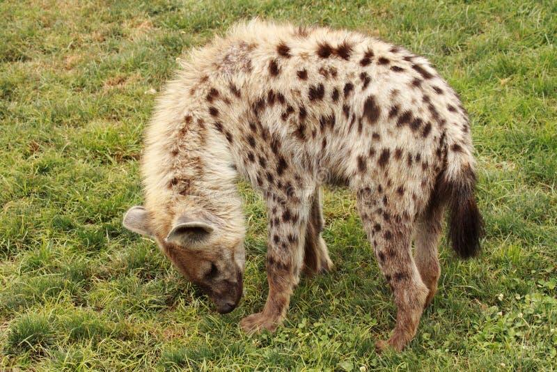 hyena imagens de stock