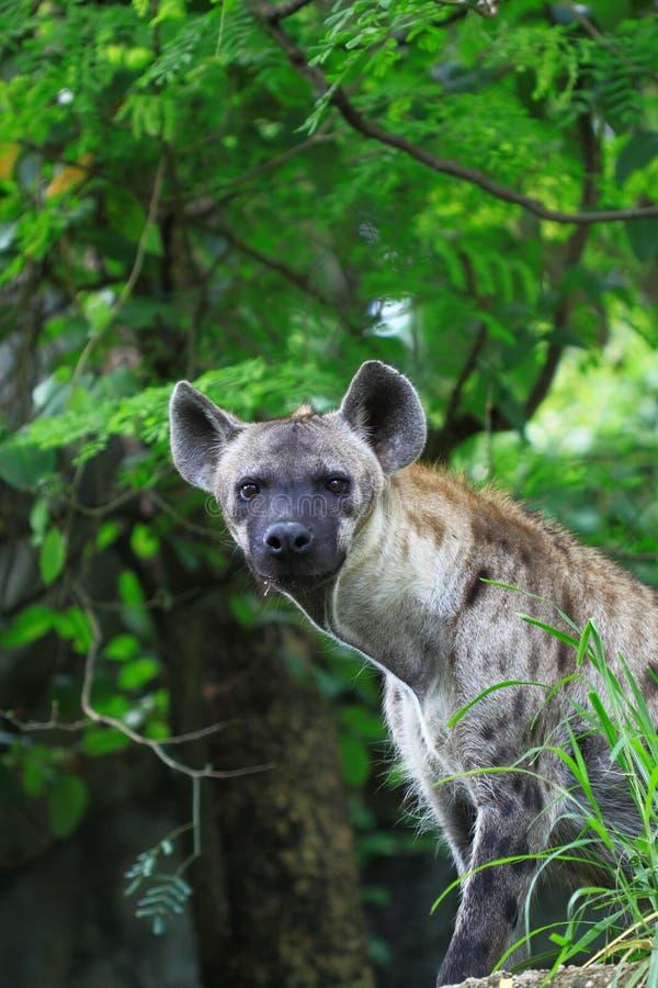 hyena foto de stock