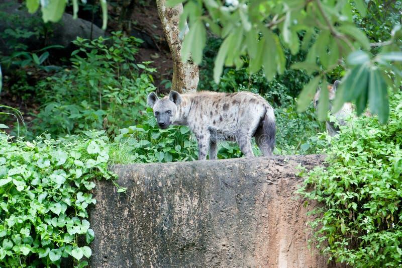 Hyena stock afbeelding