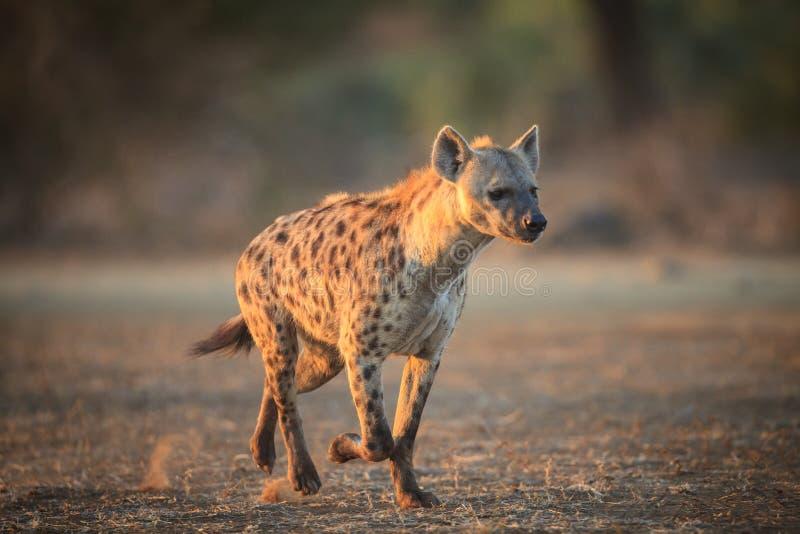 hyena royaltyfria foton