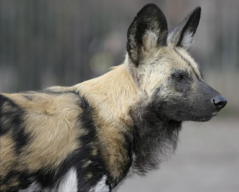Download Hyena stock photo. Image of snout, scary, wary, mammal - 8803198