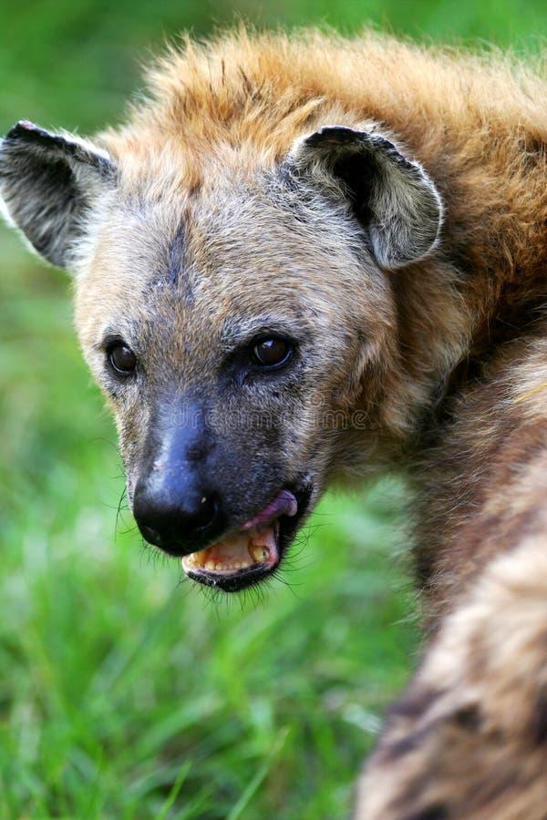 Hyena africano fotografia de stock royalty free