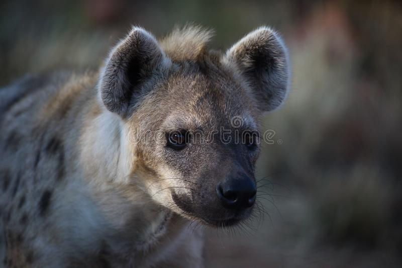 Hyena - beware, I am dangerous! royalty free stock photos