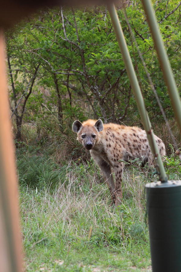 Hyena at campsite stock images