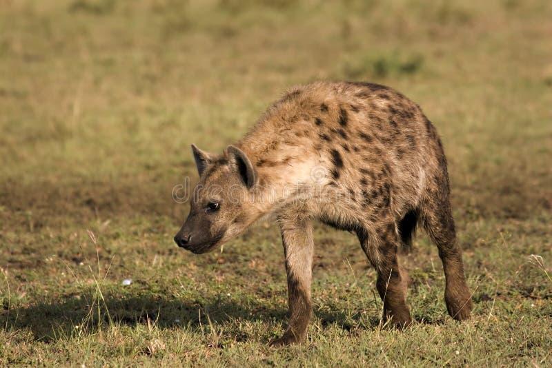 Download Hyena che passeggia fotografia stock. Immagine di hyena - 7324258