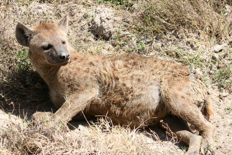 Hyena - cráter de Ngorongoro, Tanzania, África fotografía de archivo libre de regalías
