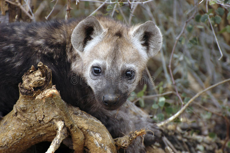 Download Hyena cub stock image. Image of watching, spotted, africa - 16511573
