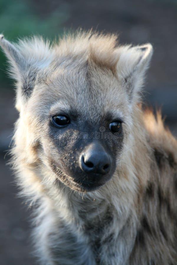 Hyena Cub fotos de archivo