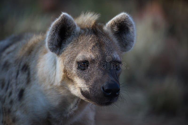 Hyena - cuidado, ¡soy peligroso! fotos de archivo libres de regalías