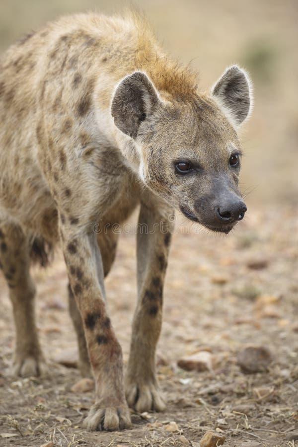 Download Hyena stock image. Image of national, africa, east, animal - 48128315