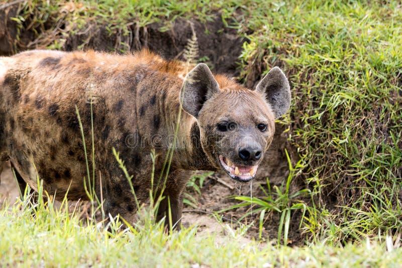 Hyena in de Afrikaanse savanne royalty-vrije stock afbeelding