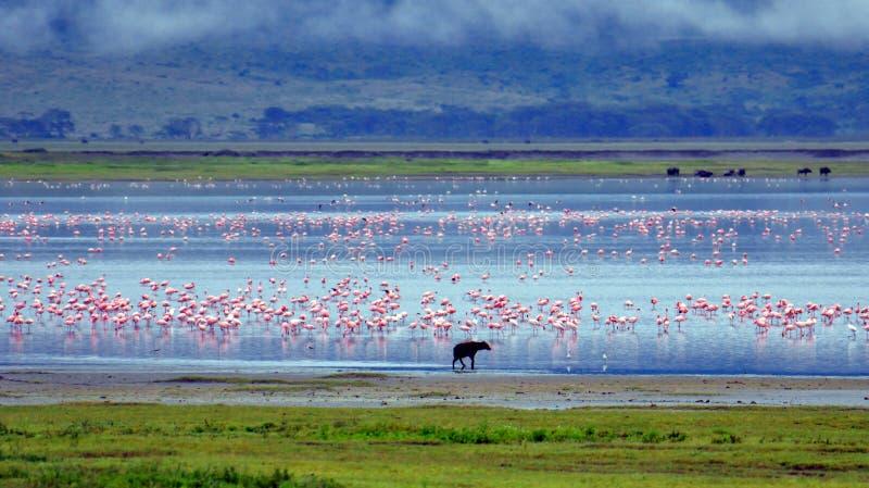 Hyena e flamingos fotos de stock
