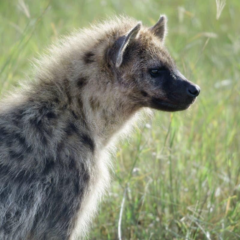 Hyena en el parque nacional de Serengeti fotografía de archivo libre de regalías