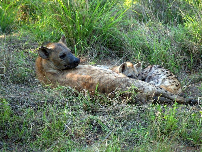 Hyena femenino con los cachorros fotos de archivo