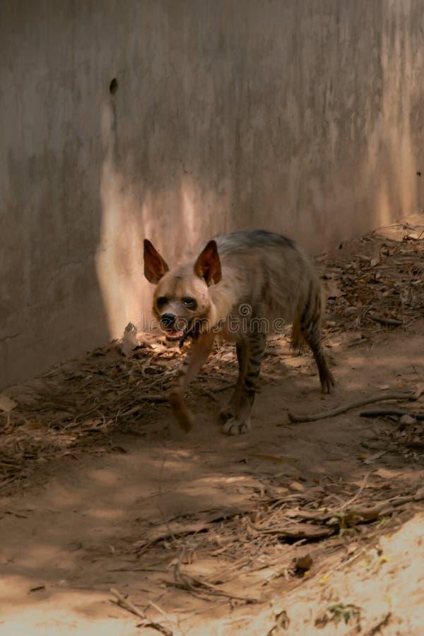 Hyena Hyaenidae Scavenger andando na floresta seca em chhatbir zoo, Índia Animais selvagens fotografia de stock royalty free