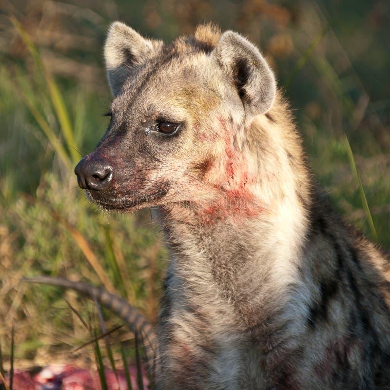 Hyena insanguinato che protegge la sua preda fotografia stock libera da diritti
