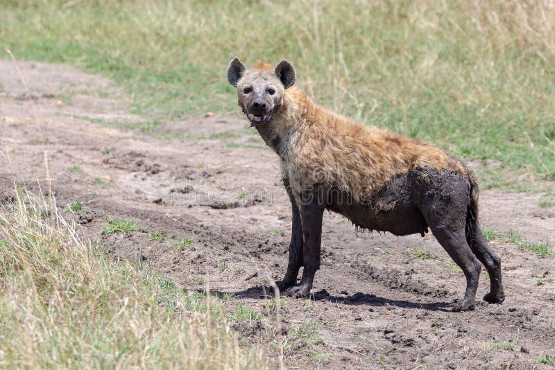 Hyena Kenya, Afrika royaltyfri bild