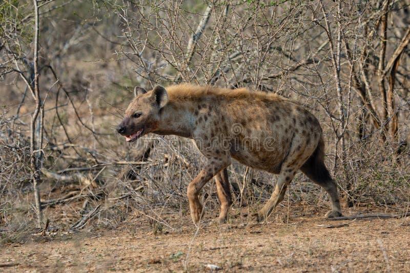 Hyena at kruger national park. South africa stock image