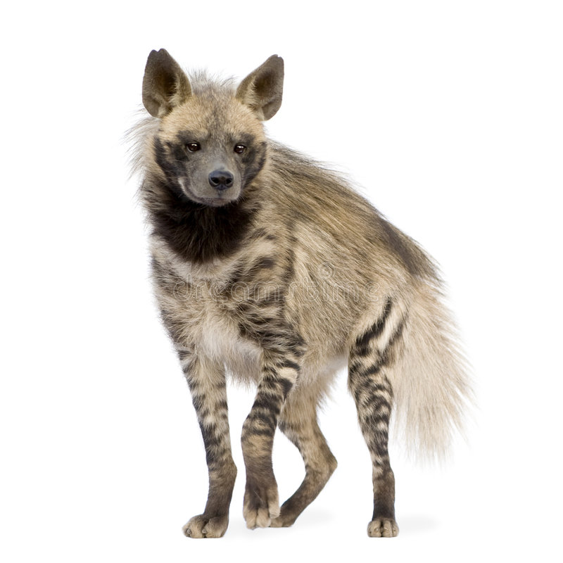 Hyena listrado - hyaena de Hyaena fotografia de stock royalty free