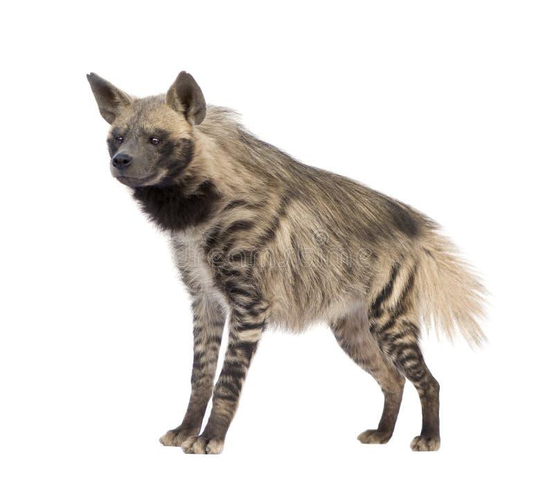 Hyena listrado - hyaena de Hyaena fotografia de stock