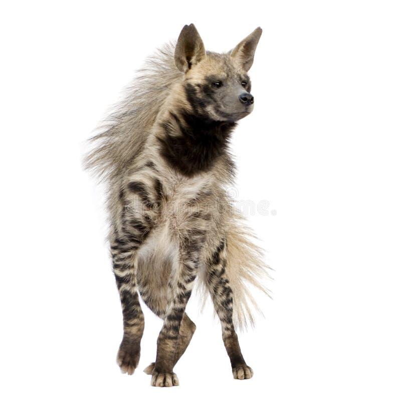 Hyena listrado - hyaena de Hyaena fotos de stock royalty free