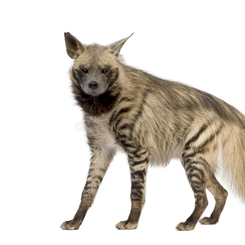 Hyena listrado - hyaena de Hyaena imagens de stock
