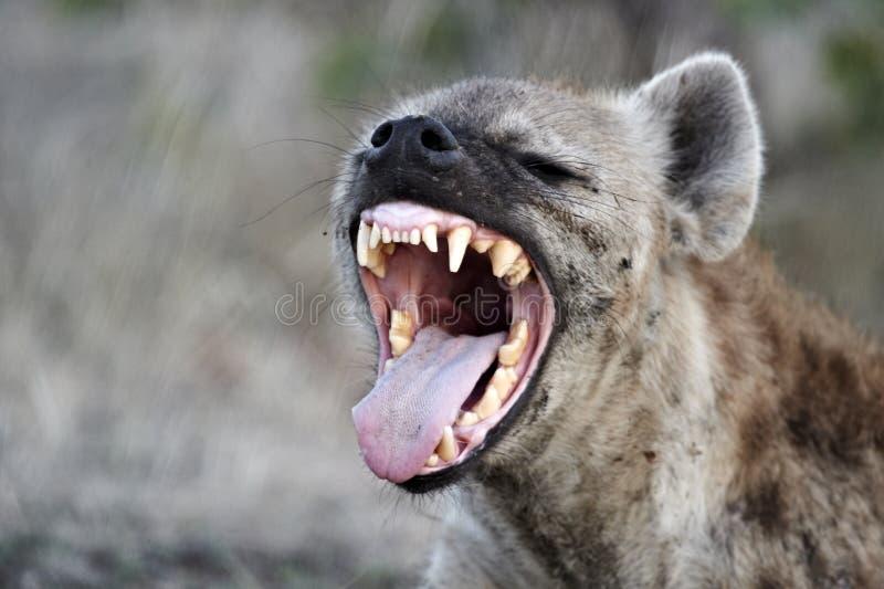 Hyena macchiato (crocuta del crocuta) fotografie stock