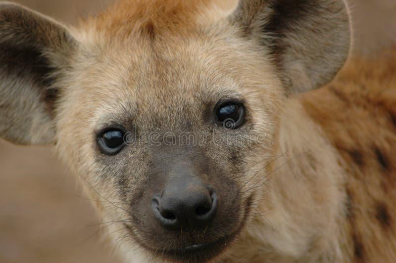 Hyena manchado imágenes de archivo libres de regalías