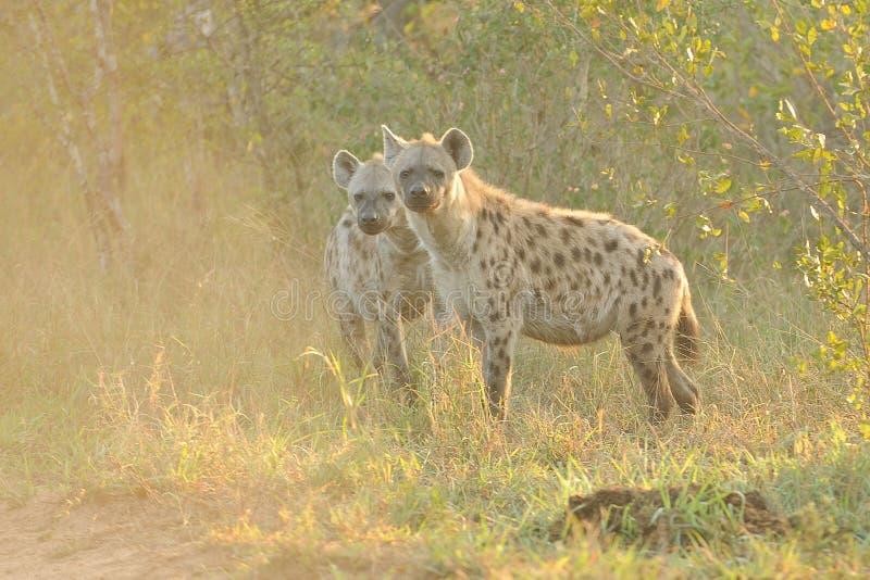 Hyena manchado dos imagen de archivo
