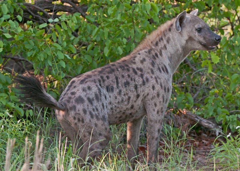Hyena manchado en el vagabundeo fotografía de archivo libre de regalías