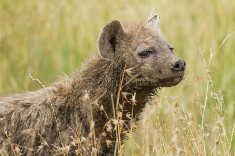 Hyena manchado en hierba de la sabana fotografía de archivo