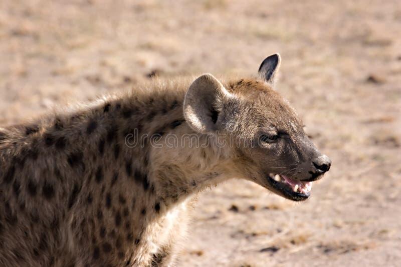 Download Hyena in Masai Mara stock photo. Image of ferocious, hunter - 7457976