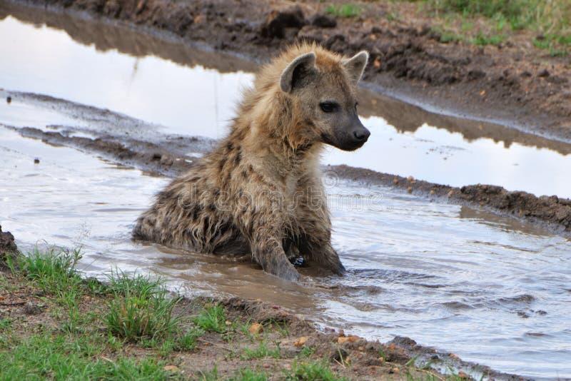 Hyena in modderig water stock foto
